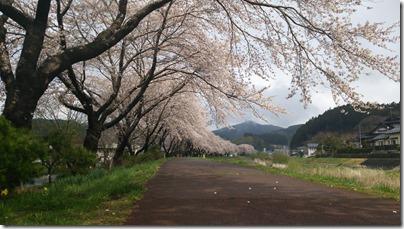 桜(大船渡市猪川町)