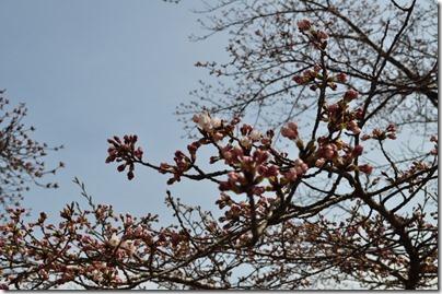 千厩支所の桜