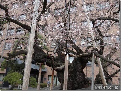 H29.4.17 石割桜が咲始まりました。0011