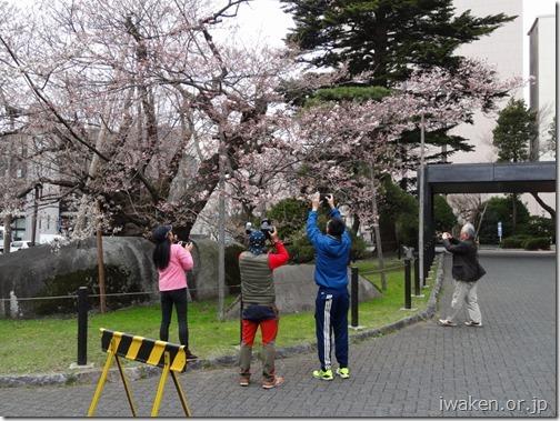 H29.4.17 石割桜が咲始まりました。0015