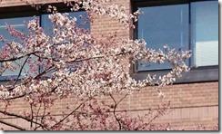 石割桜02