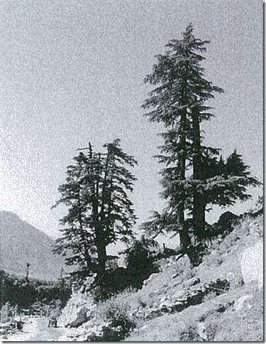 枝が切られて樹形が変ってしまったヒマラヤスギ。