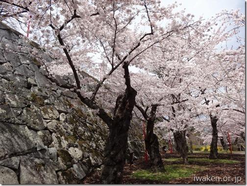 H28.4.19桜だより0011