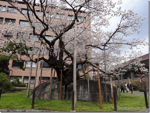 H28.4.19桜だより0013