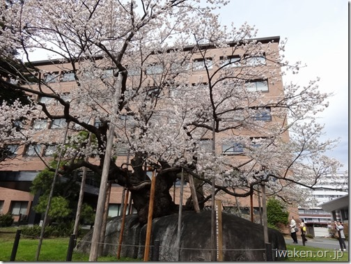 H28.4.19桜だより0014