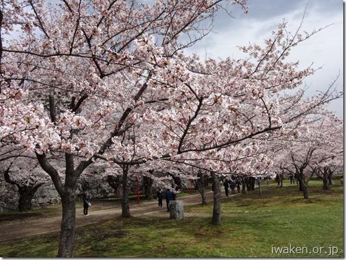 H28.4.19桜だより20012