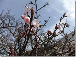 大船渡保育園 桜
