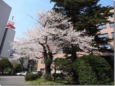 H26桜満開0003