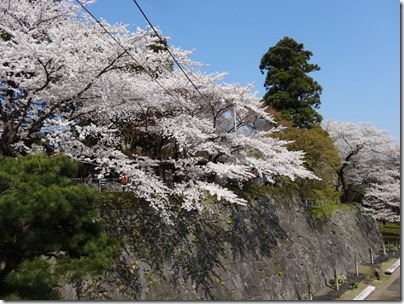 H26桜満開0004
