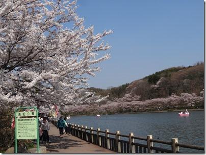 H26桜満開0017