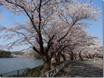 H26桜満開0022