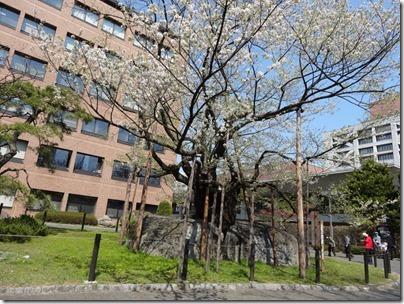 H26桜満開0002