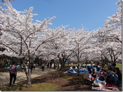 H26桜満開0006
