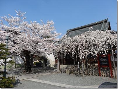 H26桜満開0012