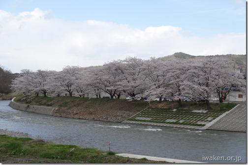 馬淵川沿いの桜