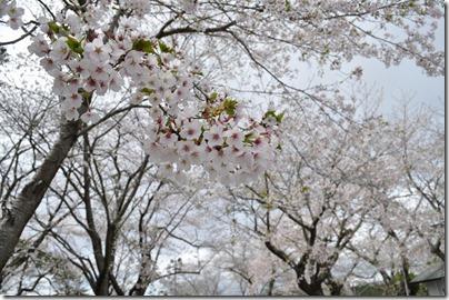 舘山公園 桜