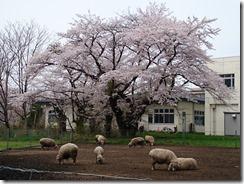 150419岩手大学構内③桜と羊