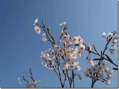 大船渡に桜が