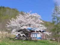 12.05.07石割桜満開1.JPG