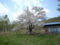 12.05.09石割桜満開3.JPG