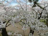DSCF桜の花.JPG
