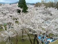 DSCF桜を上から.JPG