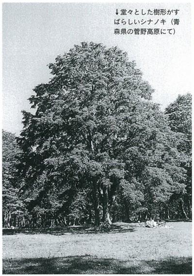 堂々とした樹形がすばらしいシナノキ