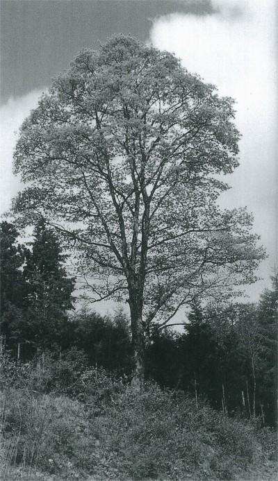 イタヤカエデは整ったスマートな樹形をしている。