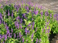 ラベンダーの咲く花壇.JPG