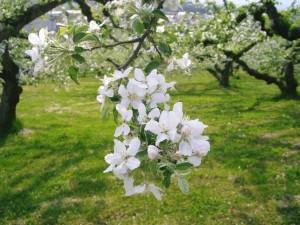 りんごの花1_CIMG0199.jpg
