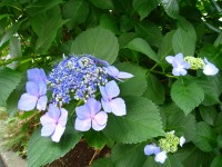 額紫陽花1.JPG