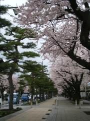 桜&松並木.JPG