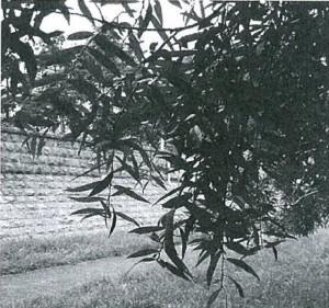 陽光に透けて揺れるシロヤナギの葉。