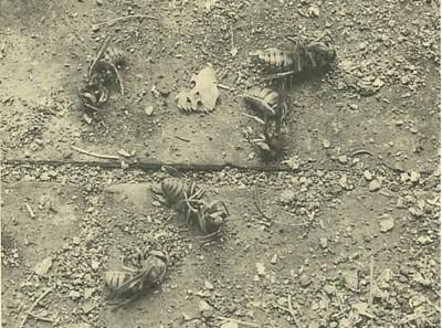 死んで巣の下に落ちていたスズメバチ