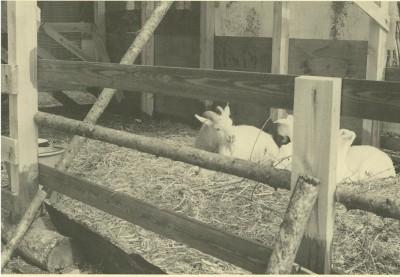小屋の中で休んでいる山羊たち