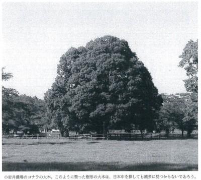 小岩井農場のコナラの大木。このように整った樹形の大木は、日本中を探しても滅多に見つからないであろう。
