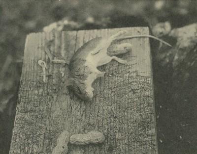 ハタネズミ