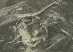 道具箱の後ろにあったネズミの巣。青大将がひそんでいた。