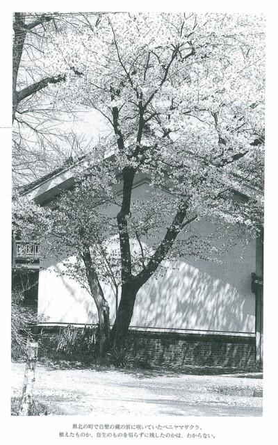 県北の町で白壁の蔵の前に咲いていたベニヤマザクラ。植えたものか、自生したものを切らずに残したのかは、わからない。