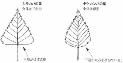 シラカバの葉 ダケカンバの葉