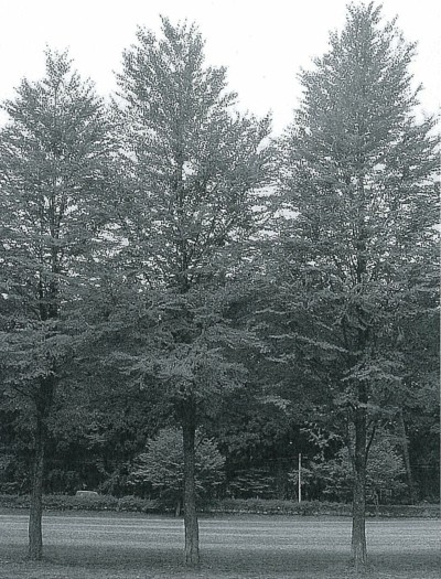 若いカツラの樹形