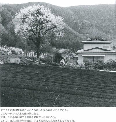 ヤマナシの木は集落に近いところにしか見られないそうである。