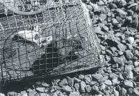 ネズミ捕りの籠に入ったネズミ。