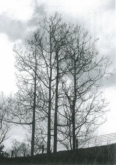 成木はすがすがしく、キリッとしている。