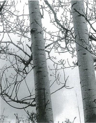 灰白色でなめらかな樹肌。