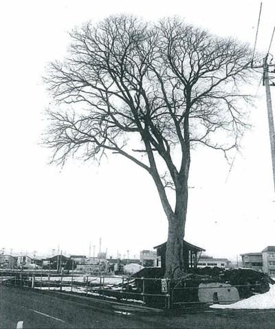 実に堂々たる巨木であった。葉のついている季節の写真をとっておけばよかった。