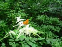 鳥脚升麻と蝶.JPG