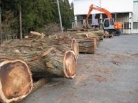 竜雲寺 巨木 伐採
