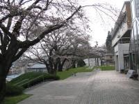 千厩支所の桜並木