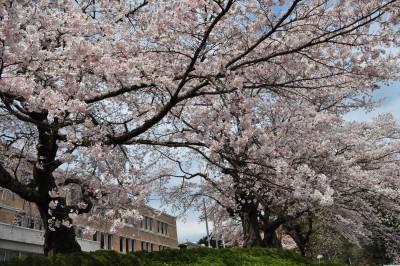 千厩支所 桜